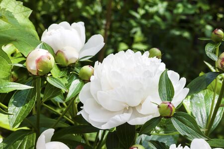 Close-up of white peony on green garden background