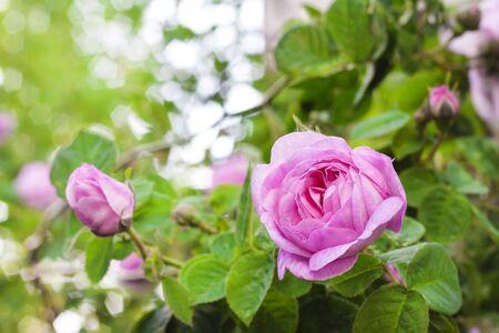 Rosa Centifolia (Rose des Peintres) flower closeup on green garden background