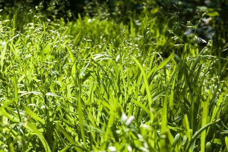 Green grass closeup natural background