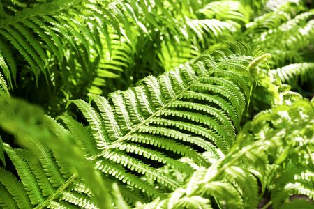 Beautiful green fern leaves natural background
