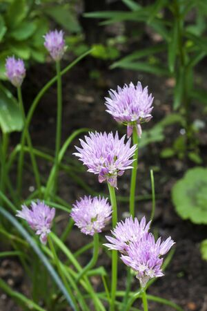Chives (Allium schoenoprasum) flowers closeup in garden 免版税图像 - 125325298