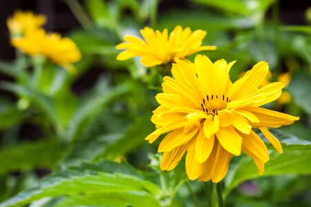 Heliopsis flowers closeup in sunny summer day