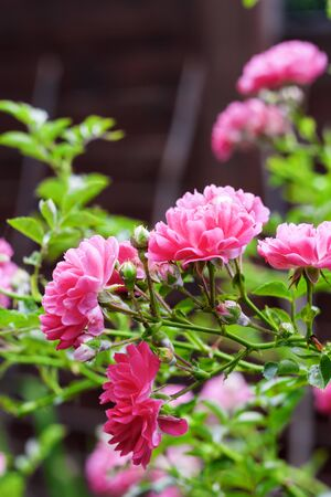 Flowers of climbing roses closeup in sunny summer day