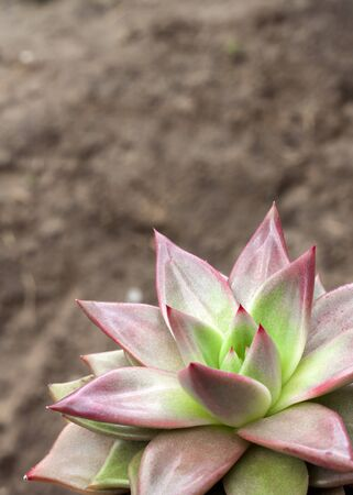 Echeveria Red Taurus plant closeup. Evergreen succulent plant with rosettes of colorful leaves