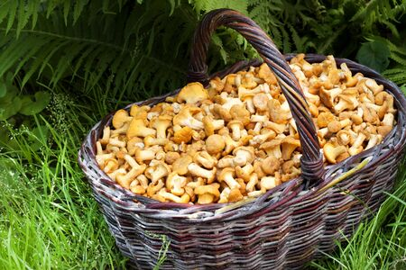 Wicker basket with wild mushrooms chanterelles on green grass and fern background 스톡 콘텐츠