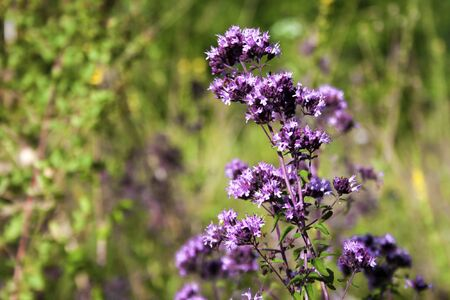 Closeup of beautiful oregano flowers in a summer meadow Zdjęcie Seryjne