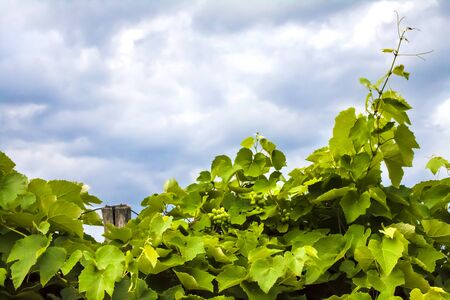 Grapevine with green grapes on cloudy sky background. Natural background