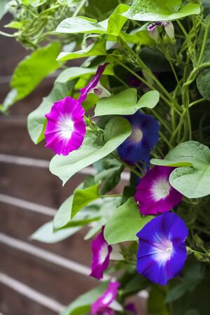 Purple and blue Morning Glory (Ipomoea) flowers climbing along the wooden fence, closeup
