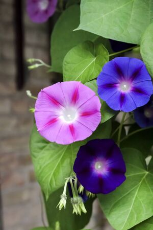 Purple and blue Morning Glory (Ipomoea) flowers climbing, closeup