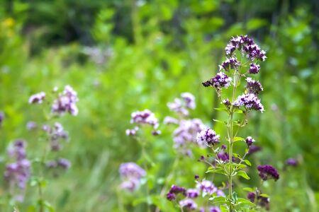 Beautiful oregano flowers on a summer meadow Zdjęcie Seryjne