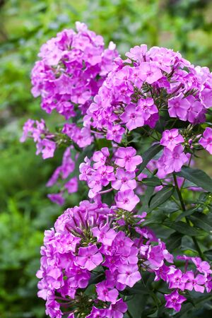 Purple garden Phlox closeup on green garden background