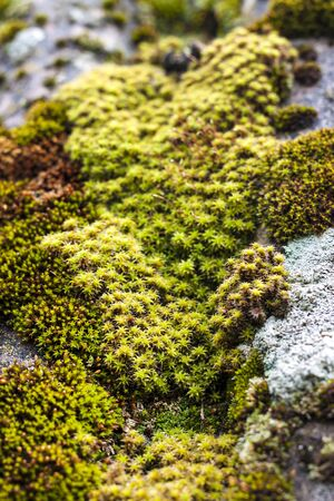 Closeup of old slate roof covered with green moss after the rain. Green moss texture, natural background