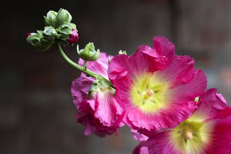 Flower of pink mallow closeup on dark blurred background Stock fotó