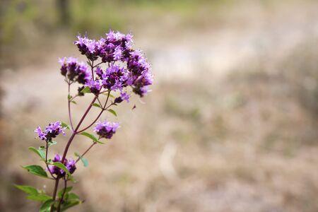 Closeup of beautiful oregano flowers in a summer meadow. Copy space