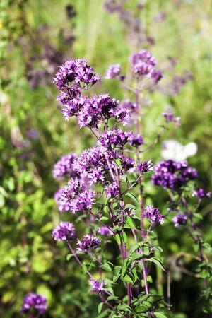 Closeup of beautiful oregano flowers on a summer meadow