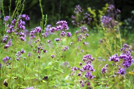 Beautiful oregano flowers on a summer meadow. Natural background Stock fotó