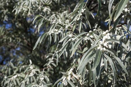 Elaeagnus angustifolia (commonly called Russian olive, silver berry, oleaster, Persian olive, or wild olive) branch with green fruits Stock fotó