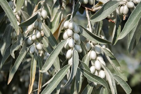 Closeup of Elaeagnus angustifolia (commonly called Russian olive, silver berry, oleaster, Persian olive, or wild olive) branch with green fruits