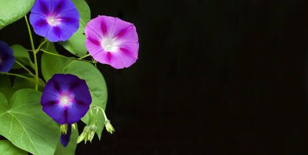 Purple and blue Morning Glory (Ipomoea) flowers isolated on black background with copy space