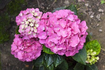 Pink Hydrangea macrophylla (Bigleaf Hydrangea) inflorescence closeup in summer garden