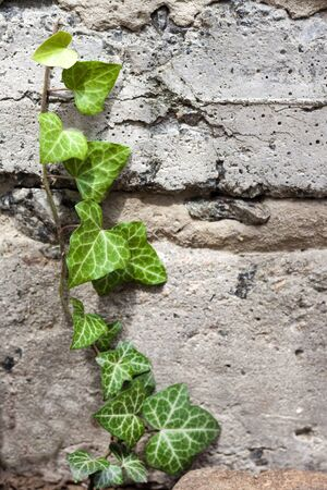 Closeup of fresh green ivy growing across a old textured concrete wall. Copy space