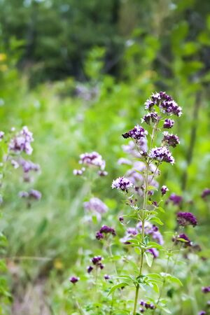 Beautiful wild oregano flowers in a summer meadow