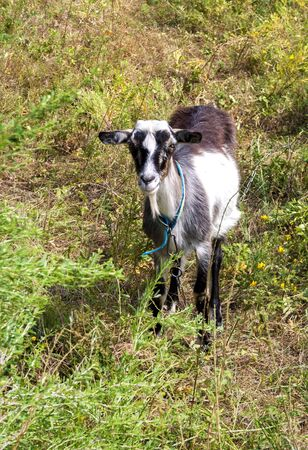 Brown and white hornless village goat grazing on a summer meadow Фото со стока