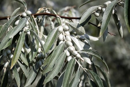 Closeup of Elaeagnus angustifolia branch (commonly called Russian olive, silver berry, oleaster, Persian olive, or wild olive) with green fruits