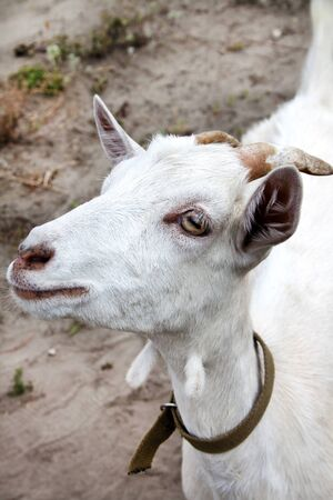 Portrait of cute young white goat
