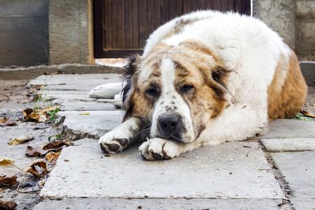Pensive dog resting its head on its paws. Breed Central Asian Shepherd (Alabai)