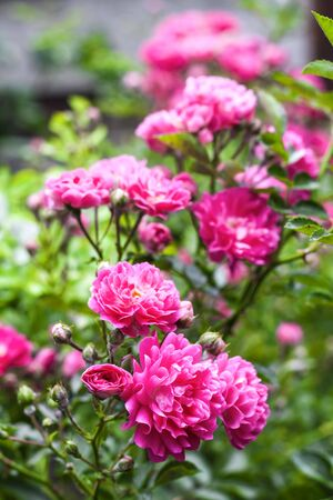Flowers of pink climbing roses closeup in sunny summer day