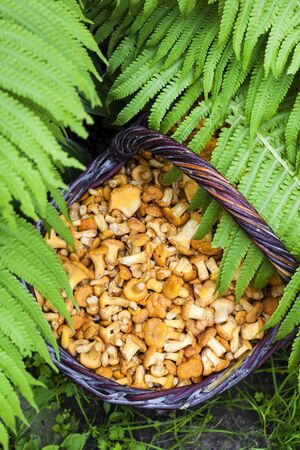 Wicker basket with wild mushrooms chanterelles and fern leaves on background