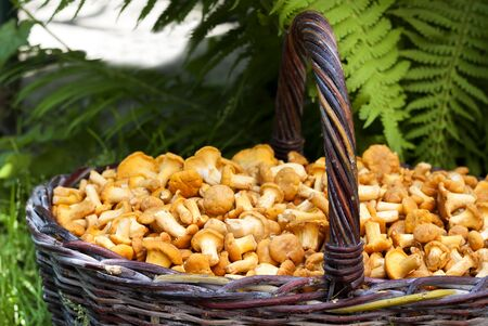Wicker basket with wild mushrooms chanterelles on green grass and fern background. Closeup with selective focus