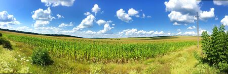 Panorama of сorn field in summer day with bright cloudy sky in countryside 写真素材