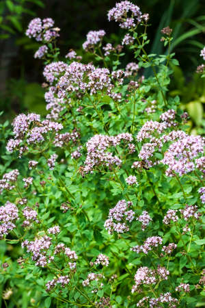 Beautiful oregano flowers cultivated in a garden