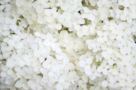 Blooming white Annabelle Hydrangea arborescens (commonly known as smooth hydrangea, wild hydrangea, or sevenbark). Closeup