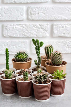 Cactus and succulent plants collection in small paper cups. Home garden. Copy space