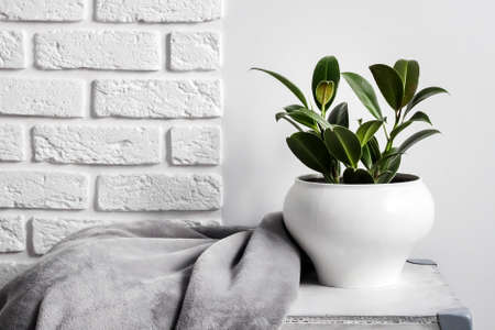 Young rubber plant (Ficus elastica) in white flower pot with gray soft fleece blanket near it. White wall with bricks on background