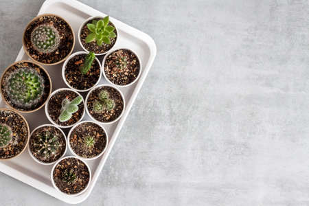 Cactus and succulent plants collection in small paper cups on a tray. Home garden. Flat lay, top view. Copy space