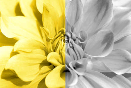 Dahlia flower closeup toned Ultimate Gray and Illuminating Yellow colors of the year 2021