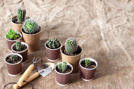Cactus and succulent plants collection in small paper cups. Home garden Stock fotó