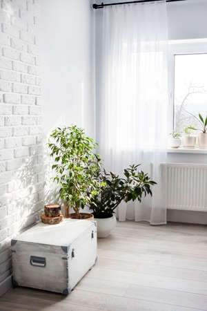 White wooden box and Ficus plants in white flower pots in the interior of the living room in light colors. Window in the background