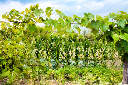 Grapevine with green grapes and vegetable garden on background