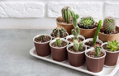 Cactus and succulent plants collection in small paper cups on a tray. Home garden. Copy space 版權商用圖片