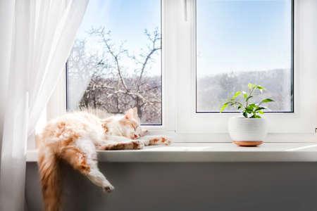 White-red fluffy cat sleeping on the windowsill of living room 版權商用圖片