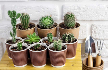 Cactus and succulent plants collection in paper cups on small yellow table miniature garden tools. Home garden