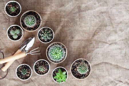 Cactus and succulent plants collection in small paper cups. Home garden. Flat lay, top view, copy space