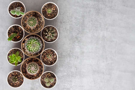 Cactus and succulent plants collection in small paper cups on a concrete background. Home garden. Flat lay, top view. Copy space