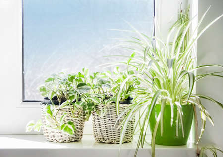 Several green home plants in flowerpots on the windowsill. Closeup