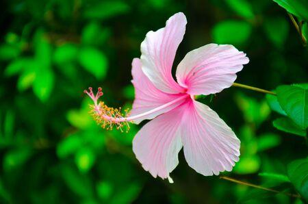 hibisco: Primer plano de flor de hibisco Foto de archivo